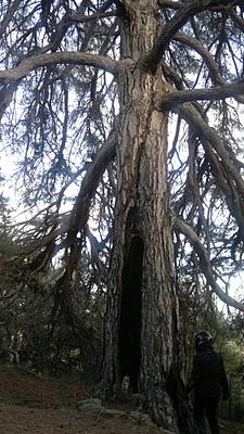 El pino Ramudo